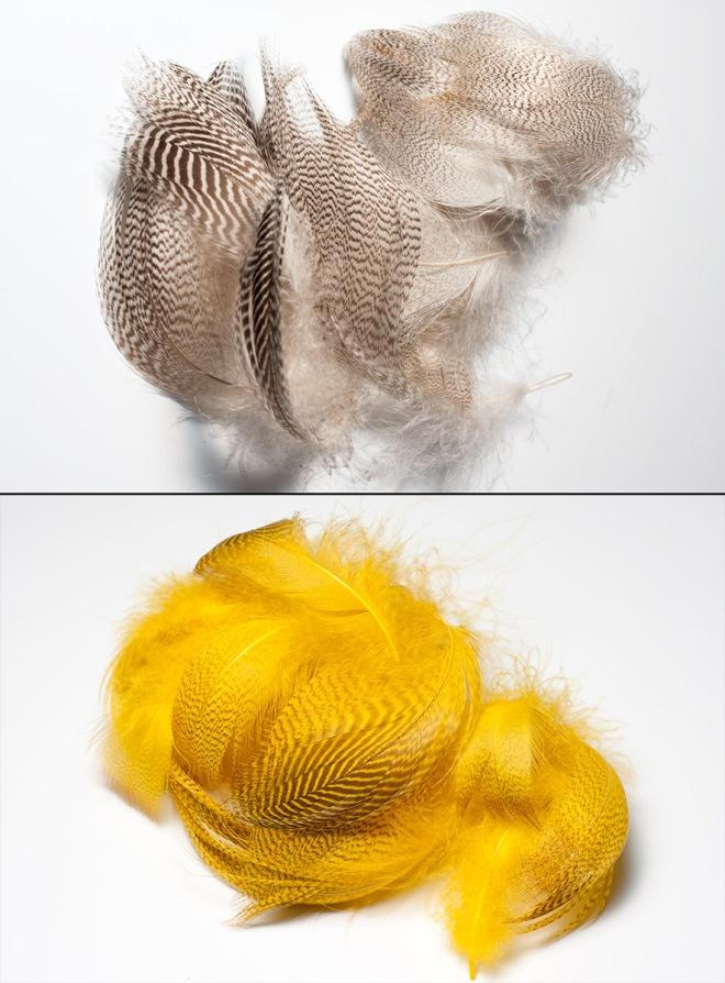 Les plumes avant et après. Le curcuma produit une belle teinte jaune dorée.