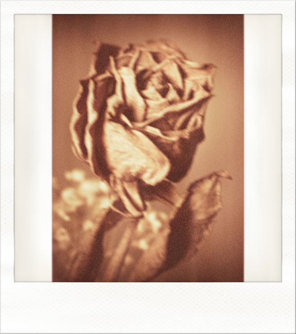 rosespola2